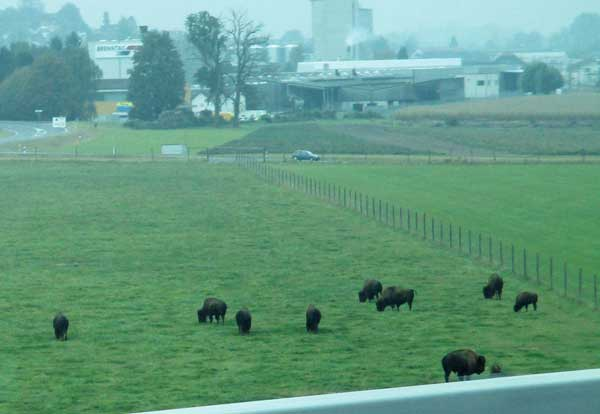 buffalo spotted on the way from geneva to winterthur, switzerland on october 13, 2016