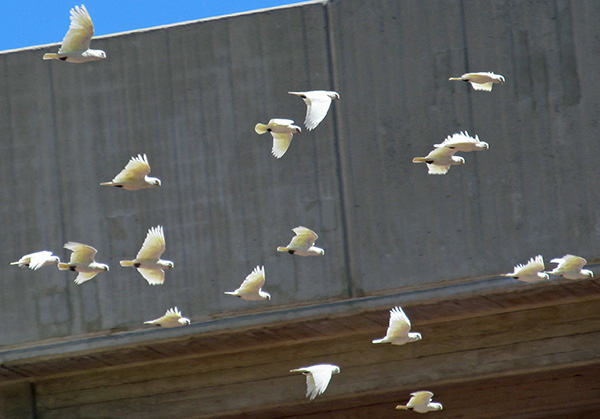 part of a flock of wild cockatoos fly by in perth